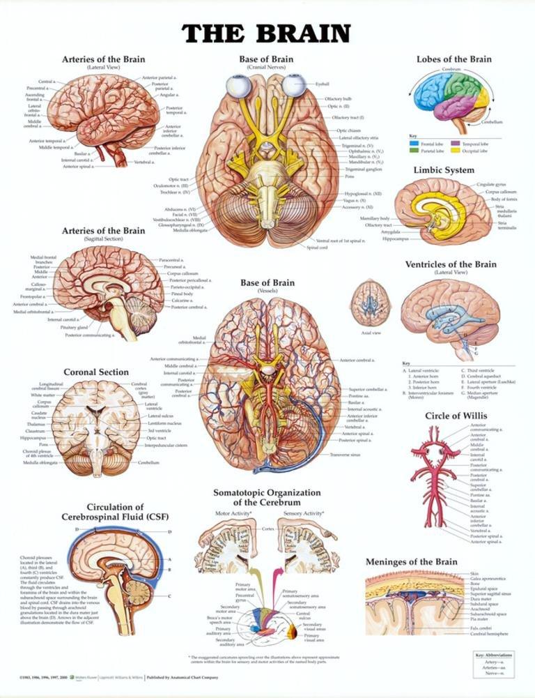 Amazon.com: AWW 9781587790898 Anatomy of The Brain 20 in. x 26 in ...