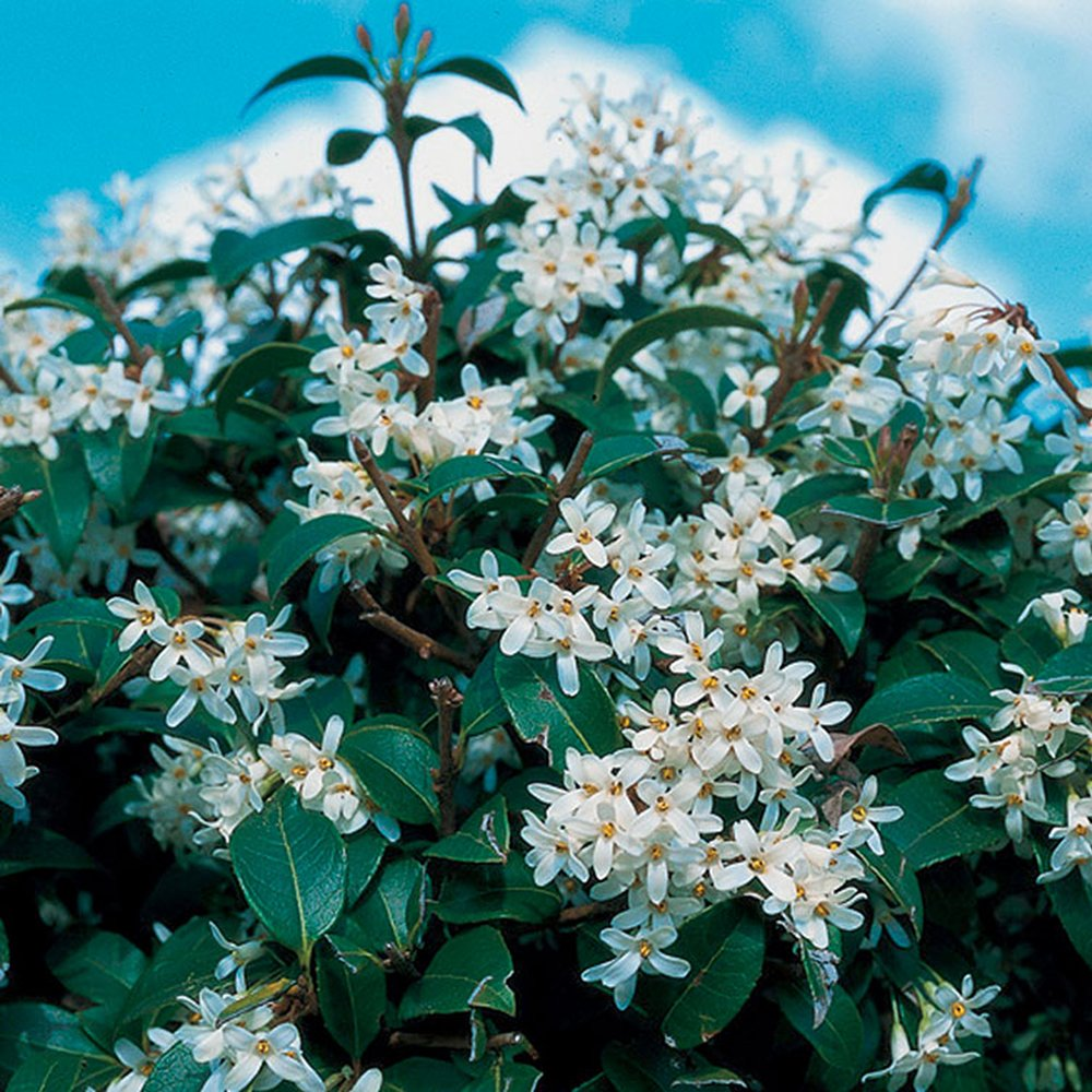 1 X OSMANTHUS 'BURKWOODII' BURKWOOD EVERGREEN SHRUB HARDY GARDEN PLANT IN POT Gardener's Dream