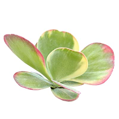 Variegated Paddle Plant Kalanchoe luciae Fantastic (4'' + Clay Pot) : Garden & Outdoor