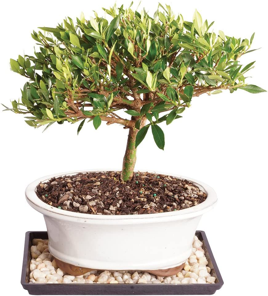 Amazon Com Brussel S Live Gardenia Outdoor Bonsai Tree 8 Years Old 8 To 12 Tall With Decorative Container Humidity Tray Deco Rock Not Sold In Arizona Garden Outdoor