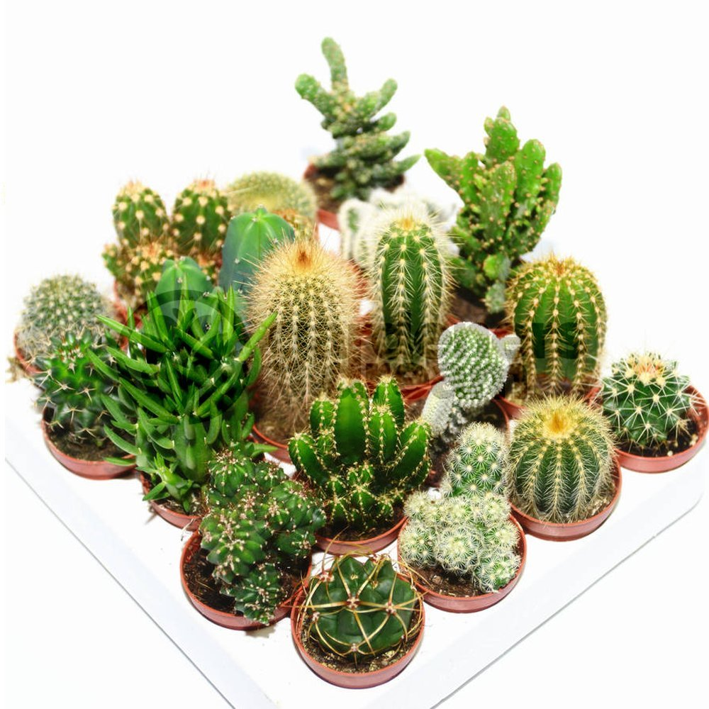 Cactus Mix - 20 Plants - House / Office Live Indoor Pot Plant - Ideal Gift GardenersDream