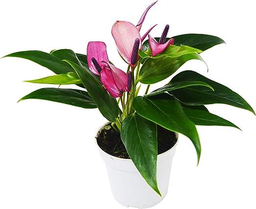 Anthurium 'Purple' Houseplant - in 4