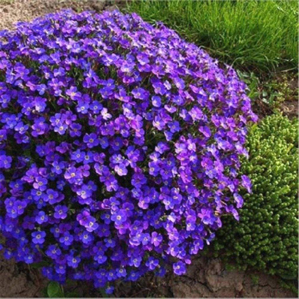 Amazon vastravel rock cress aubrieta cultorum blue purple amazon vastravel rock cress aubrieta cultorum blue purple flower 400 seeds garden outdoor izmirmasajfo