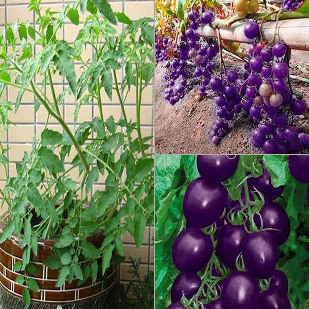 Olodui1 Samenhaus lila Tomatensamen gem/ä/ßigte Rarit/ät Pflanzen samen hohe ern/ährung Pflanzsamen