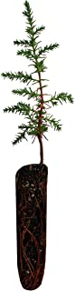 product image for Tecate Cypress   Small Tree Seedling   The Jonsteen Company