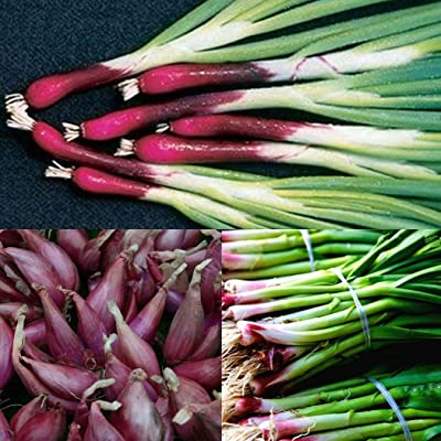 Lacegre 50/100Pcs Organic Deep Purple Scallion Onion Seeds Vegetables : Garden & Outdoor