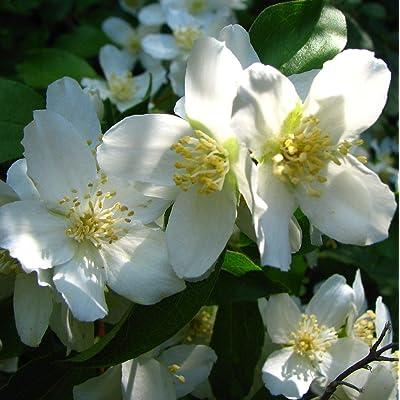 Mock Orange Gorgeous Single White Blooms in Late Spring Hardy Shrubs (2 Gallon) : Garden & Outdoor
