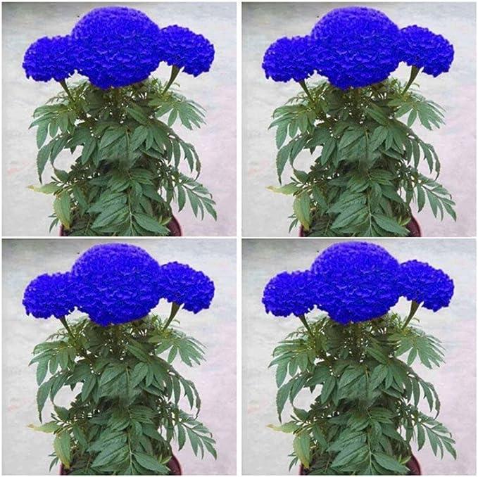 Potato001 200 PC Semillas de caléndula azul Bonsai crisantemo del jardín de flores de caléndula Planta Yard DecorBlue Semillas: Amazon.es: Jardín