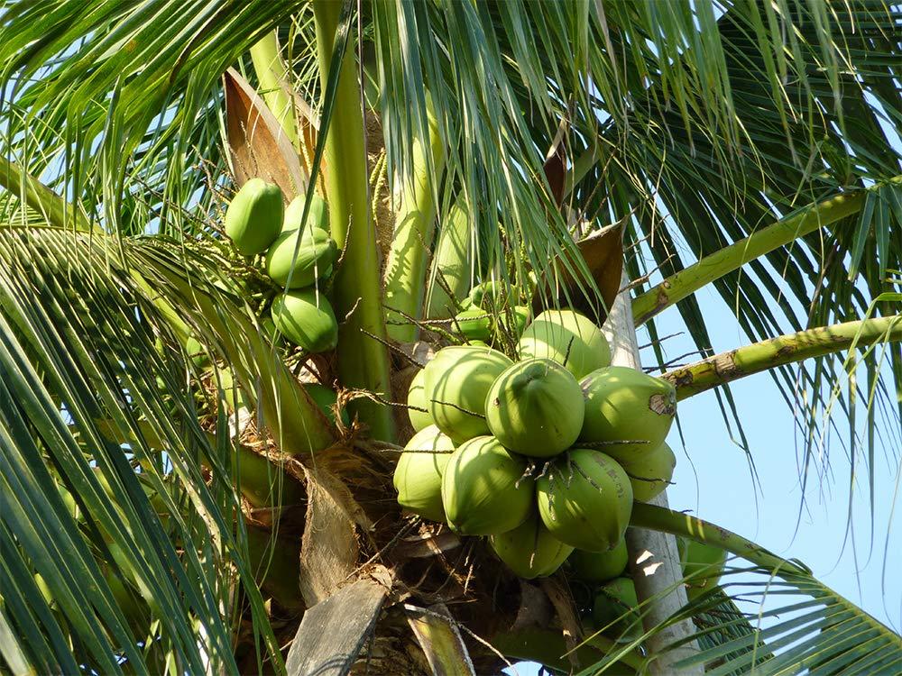AMERICAN PLANT EXCHANGE Coconut Palm Tree Exotic Indoor/Outdoor Tropical Specimen Live Plant, 6'' 1 Gallon Pot, Cocos Nucifera by AMERICAN PLANT EXCHANGE (Image #6)