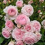 Kordes Rosen Beetrose, Larissa, rosa, 12 x 12 x 40 cm, 306-31