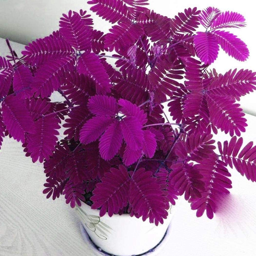 ADOLENB Seed House - Bashful coloridas semillas de hierba Mimosa Pudica Linn Follaje Mimosa Pudica Plantas Bonsai sensibles