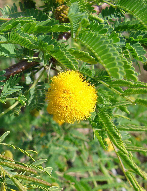 Seedeo/® S/ü/ße Akazie 20 Samen Acacia farnesiana