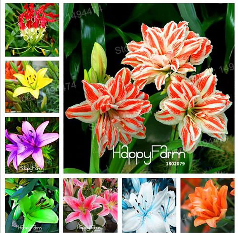 Amazon Com The Best Seller 100 Seeds Mixed Color Lily Seeds