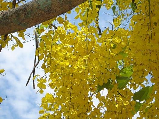 Albero Fiori Gialli.Laburnum Indiano Cassia Fistula 5 Semi Bellissimo Albero Con
