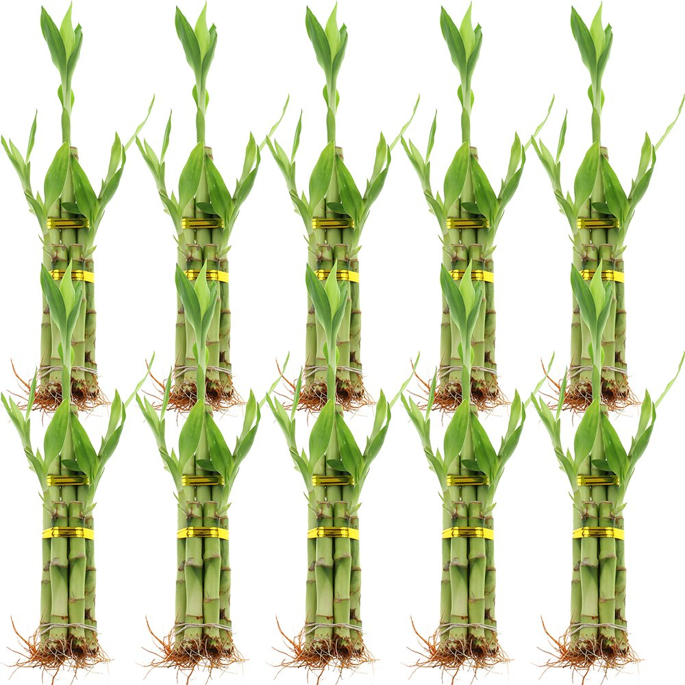 NW Wholesaler - 5 Stalk Lucky Bamboo Arrangement Bundle of 10 by NW Wholesaler (Image #1)