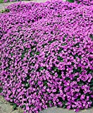 Pink ROCK SOAPWORT Saponaria Ocymoides Flower Seeds, Great Groundcover(5000)