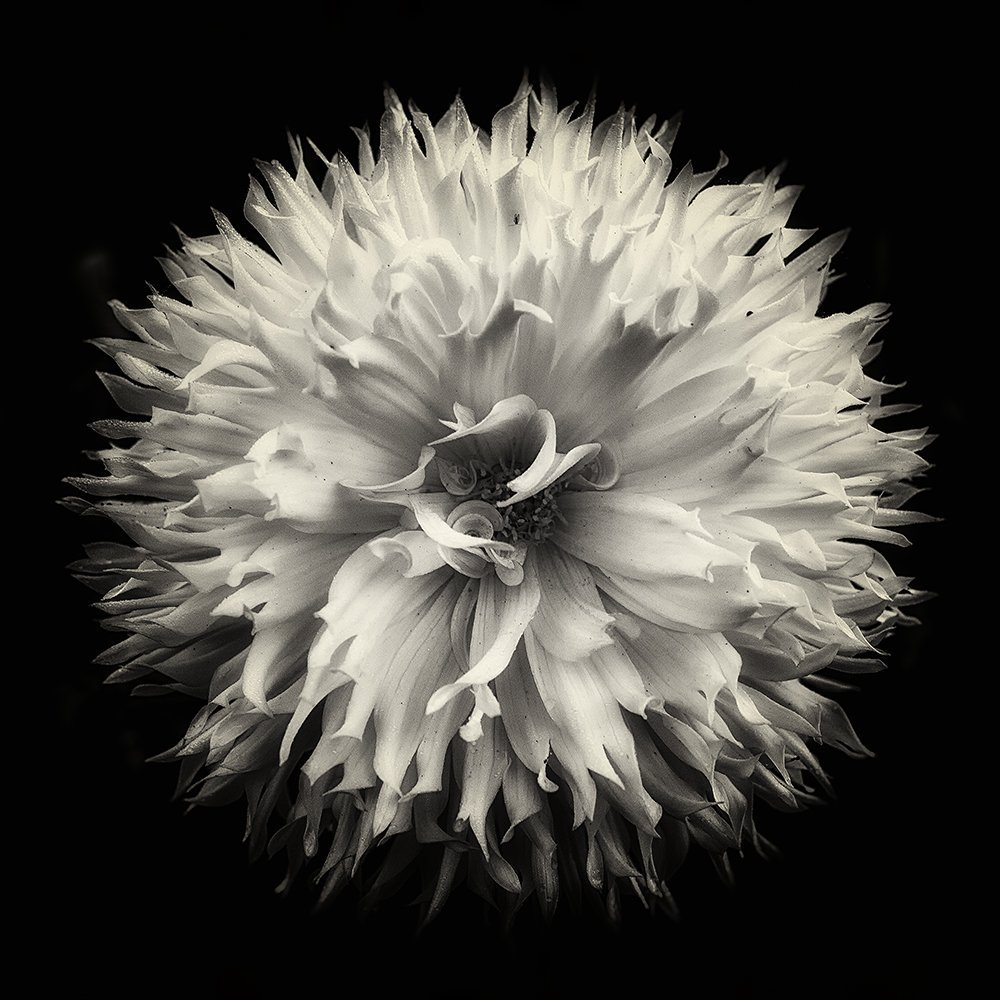 Flower photography the dahlia project 14 dahlia fine art photography black and white photography blossom garden nature monochrome wall art