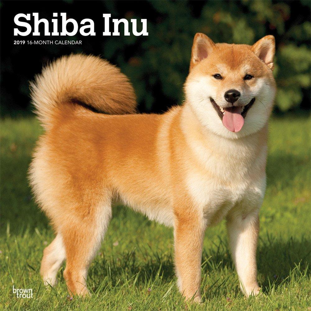 shiba inu 2019 12 x 12 inch monthly square wall calendar animals