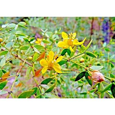 20 Brazilian Golden Shrub Seeds #RDR02 : Garden & Outdoor