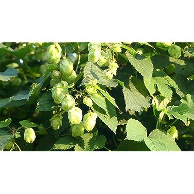 20 Seeds Humulus Lupulus Cascade Hops Vine Garden tkgre : Garden & Outdoor