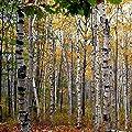 White Birch Tree Seeds (Betula papyrifera) 20+ Fresh 'Paper Birch' Tree Seeds