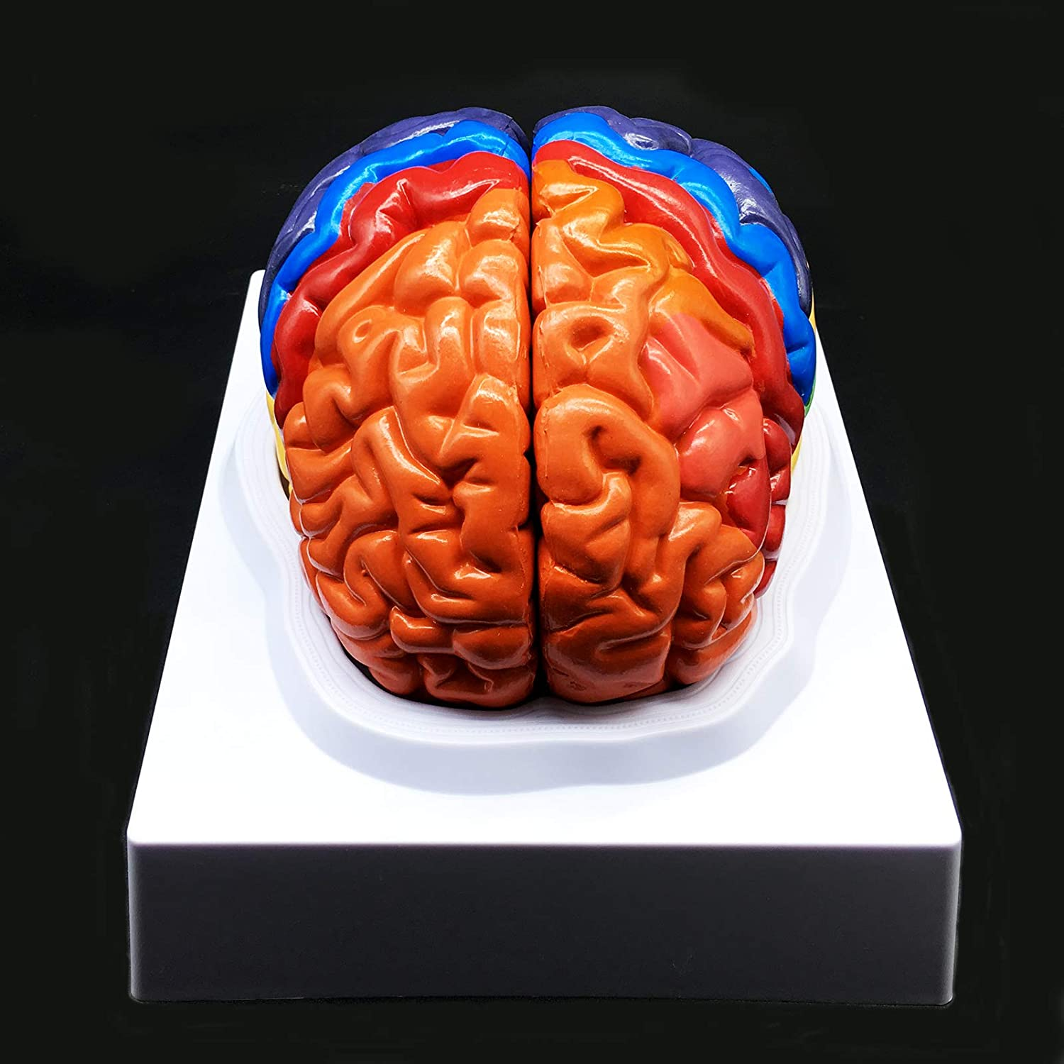 Human Brain Model, Color-Coded Partitioned Brain,2 Parts