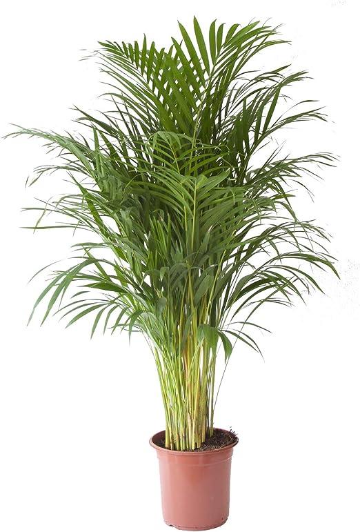 Planta de interior de Botanicly </p></div> <!--bof Product URL --> <!--eof Product URL --> <!--bof Quantity Discounts table --> <!--eof Quantity Discounts table --> </div> </dd> <dt class=
