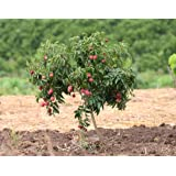 Primrose Garden Rare Exotic Dwarf Litchi Fruit Plant, 1 Layering Live Plant