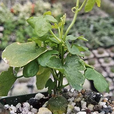 Kedrostis Africana Live Plant Cacti Succulent #PD01 : Garden & Outdoor
