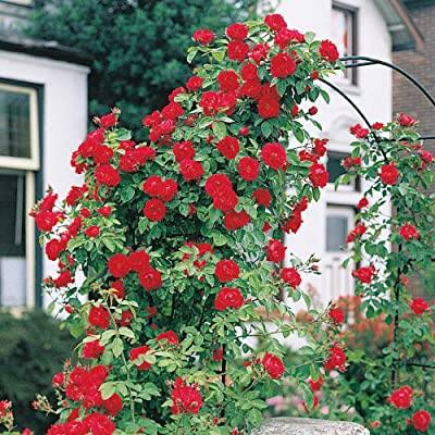 Spring Hill Nurseries - Blaze Improved Climbing Rose, Live Bareroot Plant with Red Flowers (1-Pack) : Garden & Outdoor