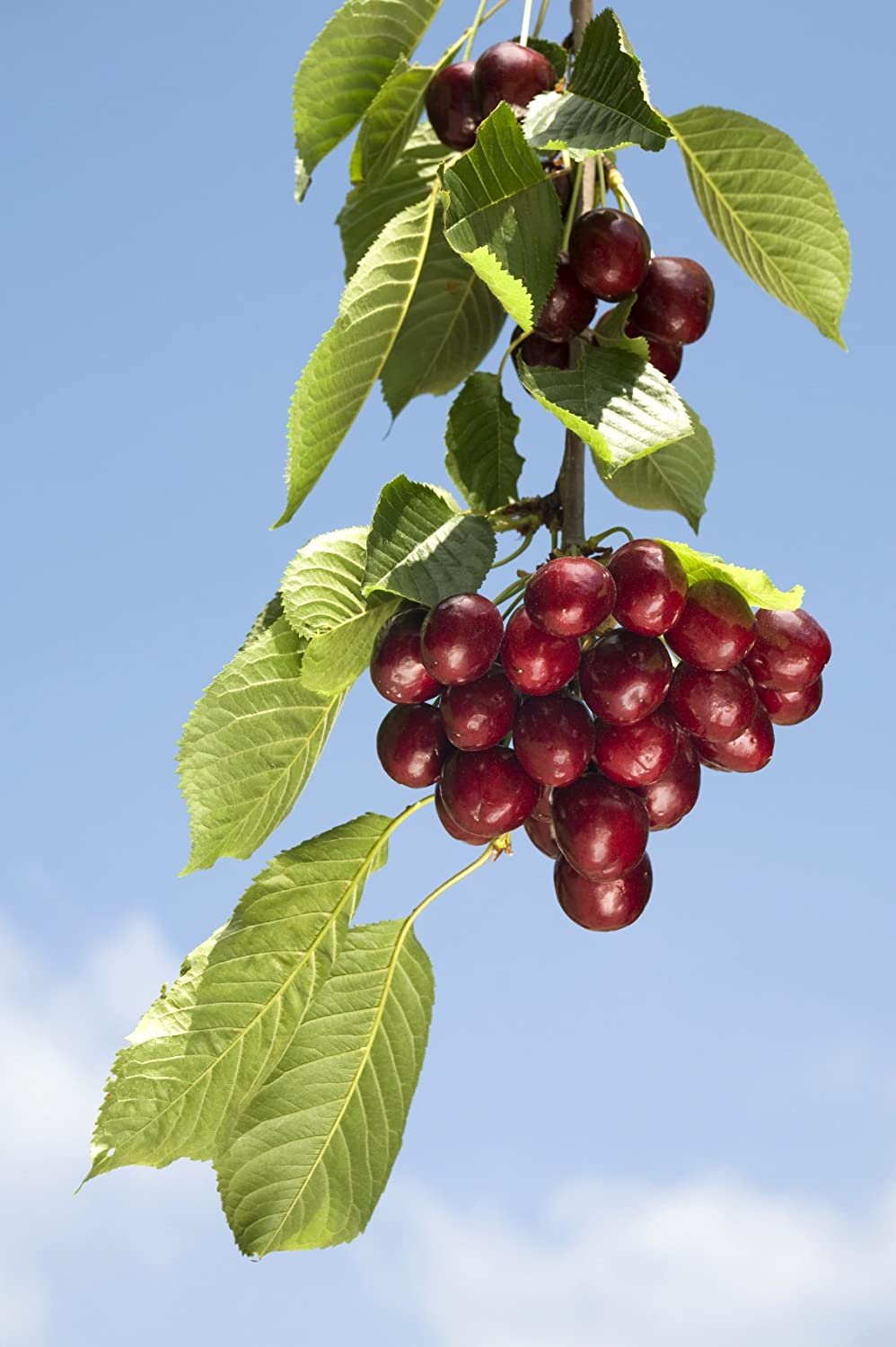 'Sunburst' Cherry Tree 4-5ft In 5L POT Self-Fertile With Big Dark Cherries Ready to Fruit 3fatpigs beechwoodtrees 3fatpigs®