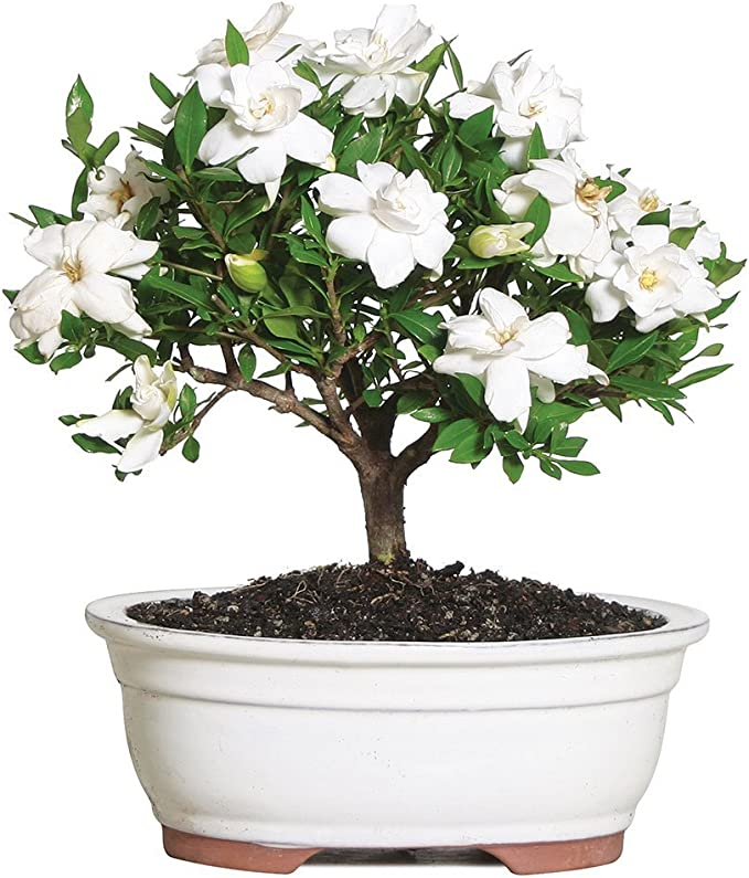 Gardenia Outdoor Bonsai Tree