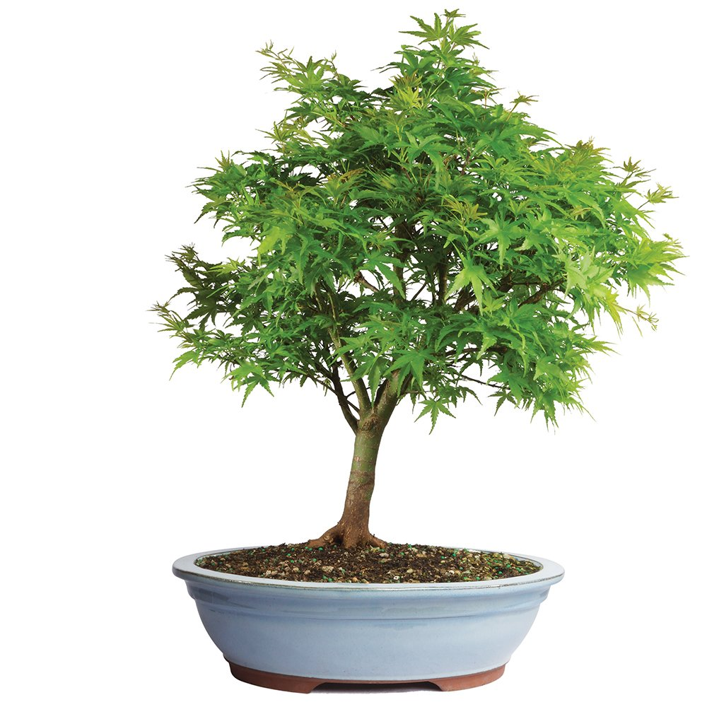 Brussel's Japanese Maple 'Sharp's Pygmy' Bonsai - XX Large - (Outdoor) by Brussel's Bonsai