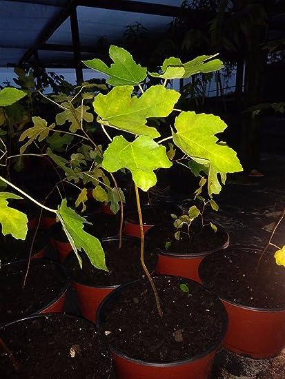 Amazon Com Ficus Magnolia Fig Tree Plant Cold Hardy Not
