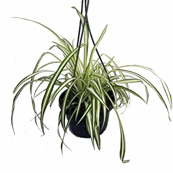 Spider House Plant on spider plant care tips, spider plant light, spider eating food, tall spider plant, spider plant on a stick, spider infestation in home, spider plants outside, spider plant poisonous, spider plant varieties, spider plant roots, houseplants plant, rare spider plant, spider grass plant, spider plant care indoor, snake plant, spider plant toxic to dogs, spider flowering plant, spider plant in the wild, aloe vera plant,