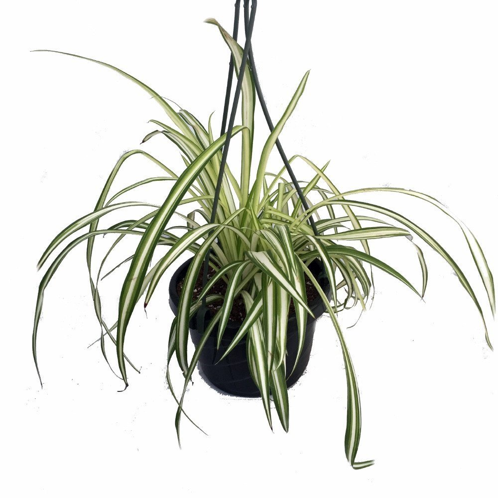 Ocean Spider Plant - Easy to Grow - Cleans the Air - NEW - 6'' Hanging Basket