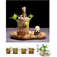 brazilwood hydroponic Plants Groot Lucky Wood Potted,Desktop Green Plants,air Purifying Plants Indoor,Free Gift (Flower…