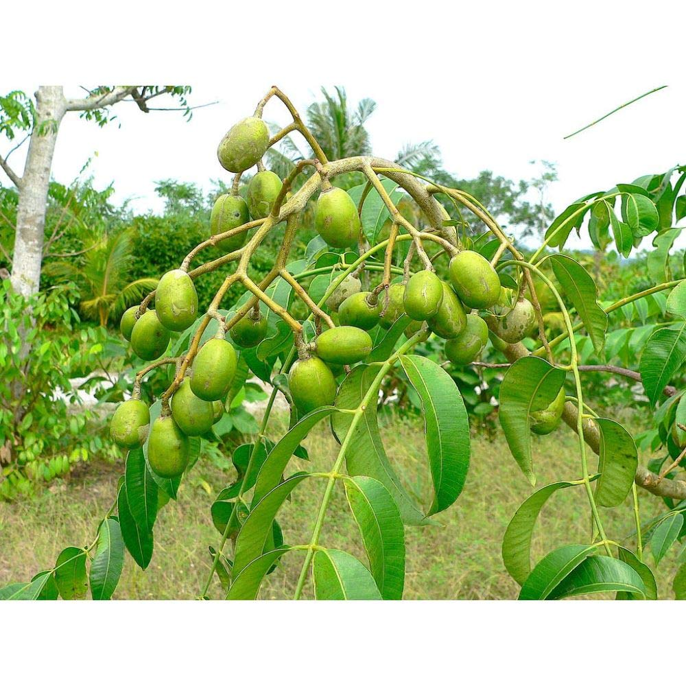 Spondias Dulcis Tropical Fruit Tree 5 Feed Height in 7 Gallon Pot #BS1 by iniloplant (Image #1)