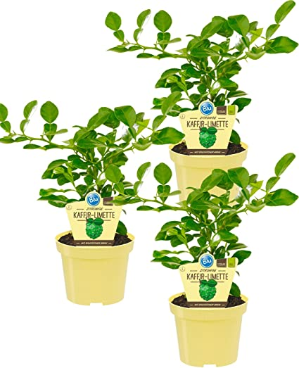 Kaffir Limette  Citrus hystrix  Kaffernlimette Kräuter Pflanzen 2stk.