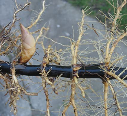 BLACK BAMBOO PLANT RHIZOME Fresh cut from the grove