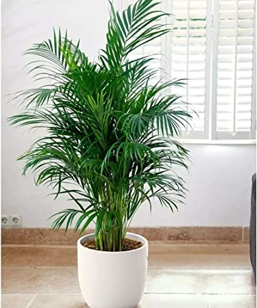 Amazon.com : KINHOO Home Decoration Plant Areca Palm Plant ... on house plant schefflera arboricola, house plant palm care, bamboo tree, house plant flower, house plant orchid, house plant swedish ivy, yucca house plant tree, house plant arrow, house plant rubber plant, house plant grass, house plants that look like trees, low maintenance indoor plants tree, house plant pineapple, house plant house, house plant with green leaves and white, corn house plant tree, house plant umbrella tree, house plant bamboo, house plant propagation, house plant pink,
