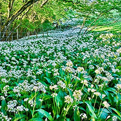 Bulbs Ready to Plant in your garden Wild garlic 2 x Allium Ursinum