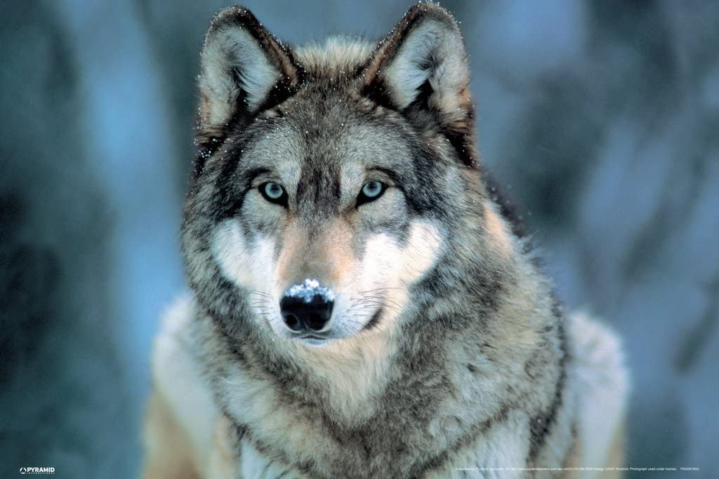 Pyramid America Grey Wolf Wild Animal Face Portrait Nature Photo Cool Wall Decor Art Print Poster 12x18