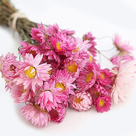Dried Flowers Helichrysum Pink Bunch Beautiful Dried Flowers
