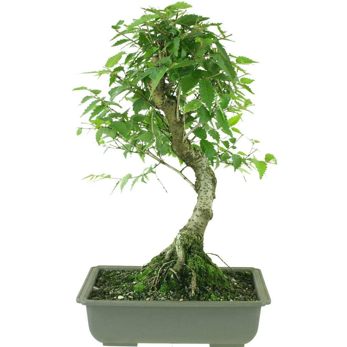 Japanische Zelkova, Prebonsai, 10 Jahre, 44cm
