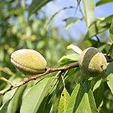 Mandelbaum Pfälzer Fruchtmandel Pumila LH 120 - 150 cm, Mandeln braun, Busch, schwächer wachsend, im Topf, Obstbaum winterhart, Prunus dulcis