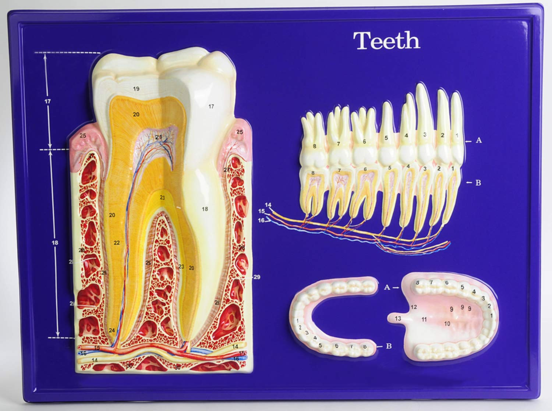 American Educational Teeth Model Activity Set by American Educational Products (Image #3)