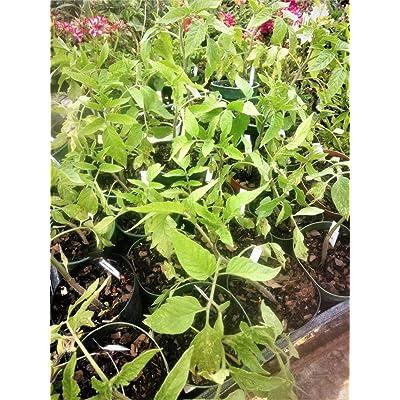 """AchmadAnam - Live Plant - Tomatoes- Patio 1 5"""" Pot Size Large Plant. E10 : Garden & Outdoor"""