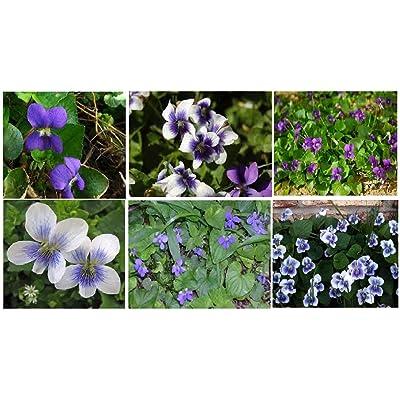 Casavidas Seeds Package: Violet Wild Flower Two Kinds Mixed Purple & White Blue Center Over 100 Seeds : Garden & Outdoor
