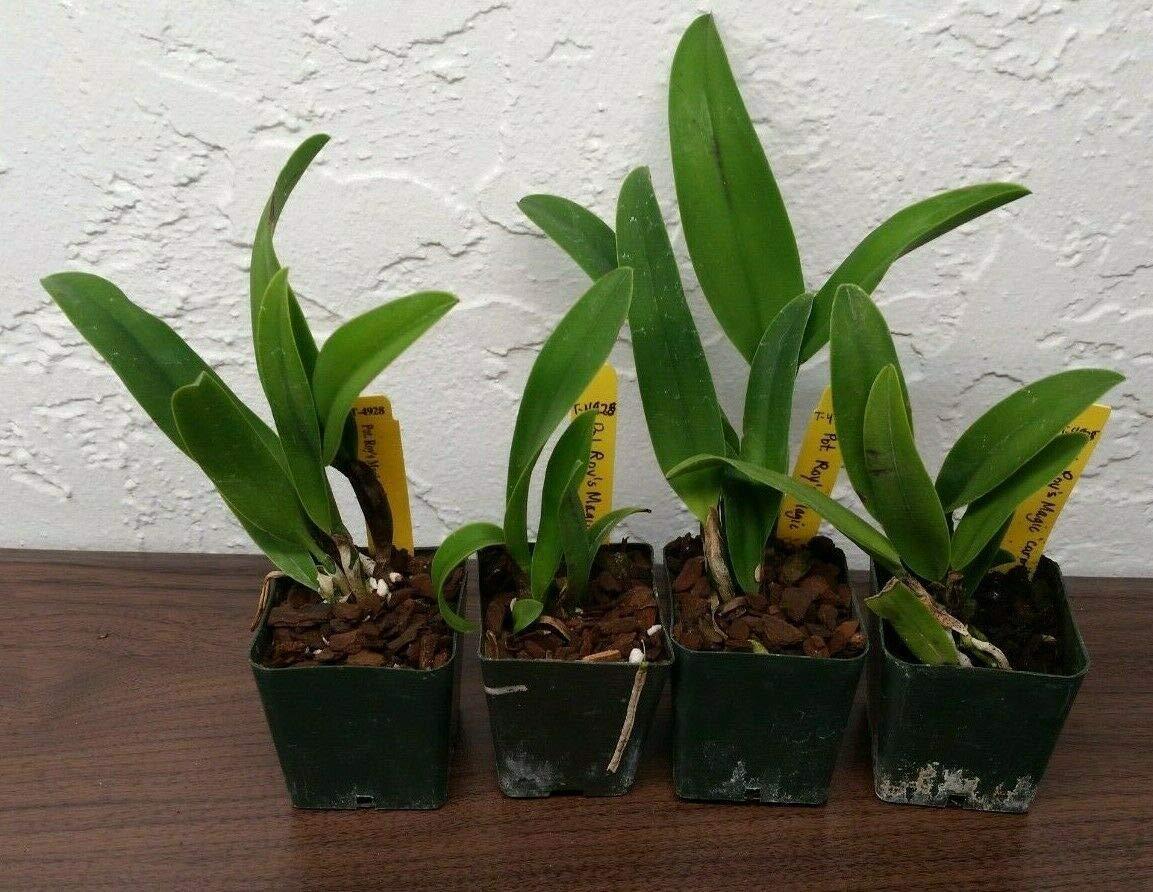 Limited Mini Splash Petal! ~ Cattleya Orchid ~ Pot. Roy's Magic 'Carmela'
